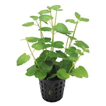 Menta Charlie - clinopodium brownei - planta para Acuario: Amazon.es: Jardín
