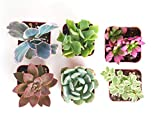 Shop Succulents | Unique Live Plants, Hand Selected Variety Pack Mini Succulents | Collection of 6