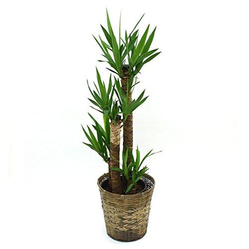 【装飾バークプレゼント】青年の木 ドラセナ ユッカ 中型8号 鉢カバーD付き B01KIZA1Z0