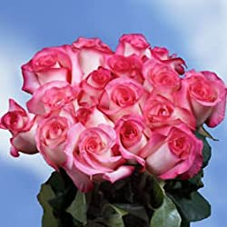 50 Fresh Cut Pale Pink Roses with Dark Pink Tips | Carrousel Roses | Fresh Flowers Express Delivery | Perfect for Valentine's Day, Anniversary or any occasion.