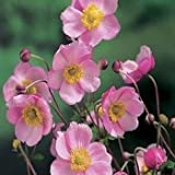 Outsidepride Anemone Pink Saucer - 100 Seeds