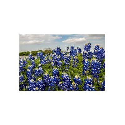 200+ 1/4 OZ Texas Bluebonnet (TYK) Seeds; Lupinus Texensis; Wildflower Patch : Garden & Outdoor