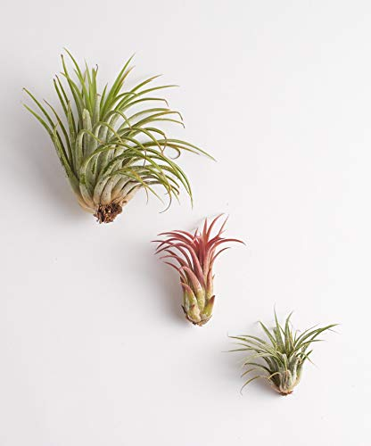Shop Succulents Ionantha Air Plants (Collection of 3)