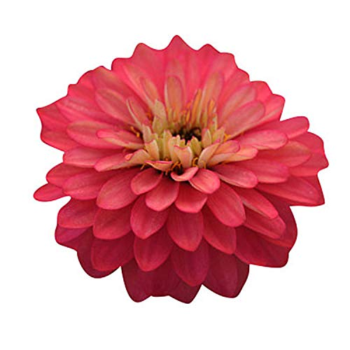 (Zinnia Zahara Double Salmon Rose Seeds - Flower Seeds Package - 250 Seeds)