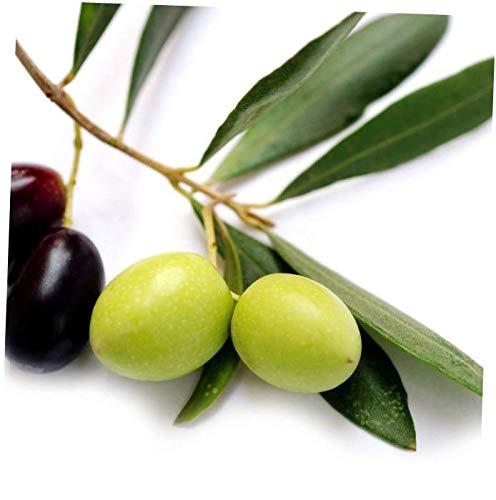 ELLA Plant Leccino - Olea europaea Olive Tree Live Plant Food Garden Drought Tolerant - EB154