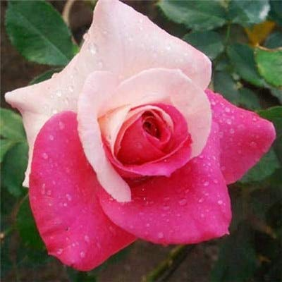 Beautiful Pink Rose Flower Seeds 80Pcs