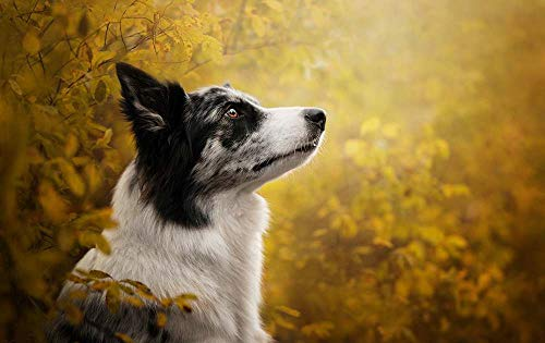 KaoHun Border Collie Dog Look - Animal Picture Art Canvas Print Poster,Home Wall Decor 42x28 inches Border Collie Dog Photo