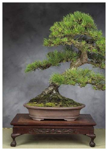 30 Seeds - Tropical Bonsai Tree - Japanese Black Pine (Pinus Thunbergii)