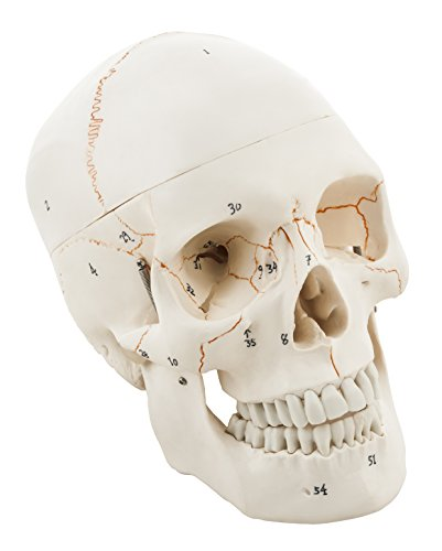 LABZIO by EISCO – Life Size Premium Human Skull Model, with Removable Calvarium, Anatomical Model, Numbered to Show Detailed Features, 3 Parts, with Detailed Study Guide Price & Reviews