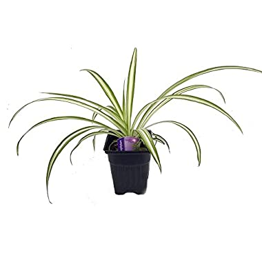 Ocean Spider Plant - Easy to Grow - Cleans the Air - NEW - 3.5  Pot