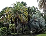 Plentree Seeds Package: Phoenix Rupicola Cliff Palm Seeds