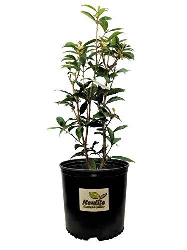 New Life Nursery & Garden / - Fudingzhu Fragrant Tea Olive (osmanthus) / - 3 Gallon -