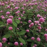 Outsidepride Gomphrena Rose - 1000 Seeds