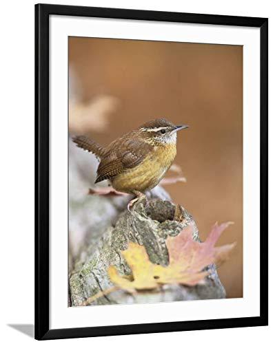 ArtEdge Wren (Thryothorus Ludovicianus), South Carolina State Bird. USA Steve Maslowski, Black Framed Matted Wall Art Print, 32x24 (South Carolina State Bird)