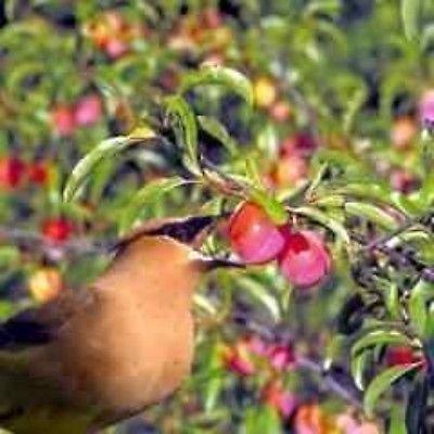Sand Plum Chickasaw Plum? (Prunus angustifolia) (1) Trees- Spring Preorder! 2017
