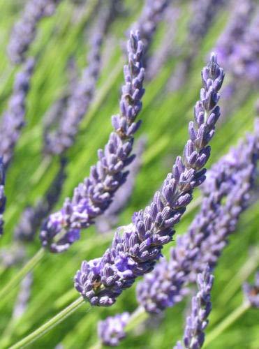 5 French Lavender Grosso - LAVANDIN x Intermedia Grosso - 5 Live Perennial ()