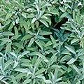 Sage Herb 100 Seeds - GARDEN FRESH PACK!