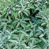 Sage Herb 100 Seeds - GARDEN FRESH PACK!