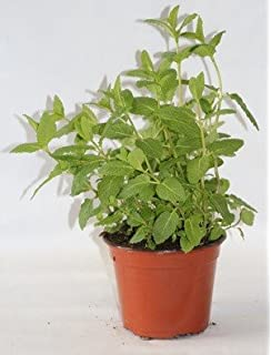 Sin marca Hierbabuena (Maceta 10,5 cm Ø) - Planta viva - Planta