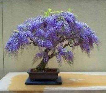 wisteria bonsai kit grow your own bonsai seeds pots soil rh amazon co uk