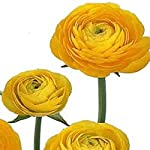 Yellow-French-Peony-Ranunculus-12-Largest-Size-Corms-Bulbs