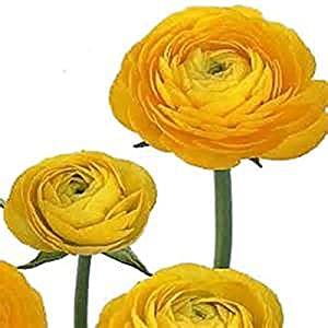 Yellow French Peony Ranunculus Corms – 12 Largest Size Bulbs