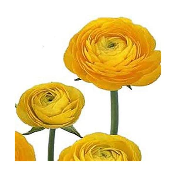 Yellow French Peony Ranunculus – 12 Largest Size Corms Bulbs