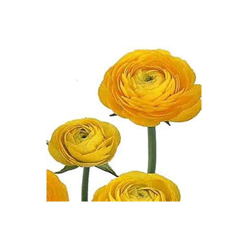 silk flower arrangements yellow french peony ranunculus corms - 12 largest size bulbs