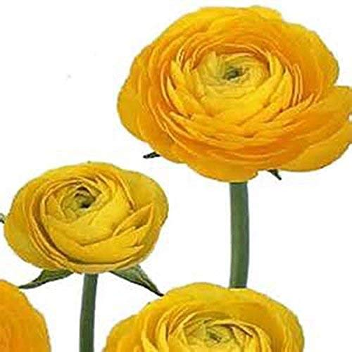 Yellow French Peony Ranunculus - 12 Largest Size Corms Bulbs