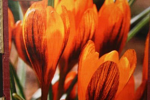 12 Crocus Orange Monarch Speciosus Bulbs Quality Blooming Size 6-7CM by thecountrygardenshop
