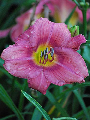 Perennial Farm Marketplace Hemerocallis