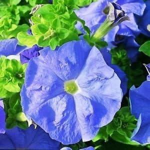 Las semillas de la petunia Sky Blue Dreams de flores (Petunia x hybrida) 40 + Pellets