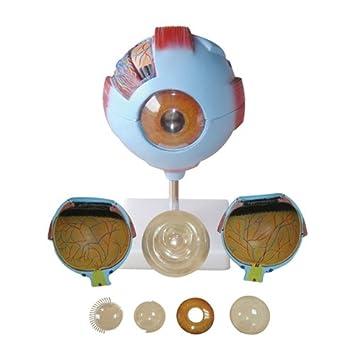 66Fit Modelo anatómico del ojo: Amazon.es: Deportes y aire libre