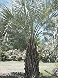 Butia capitata COLD HARDY JELLY PALM Seeds!