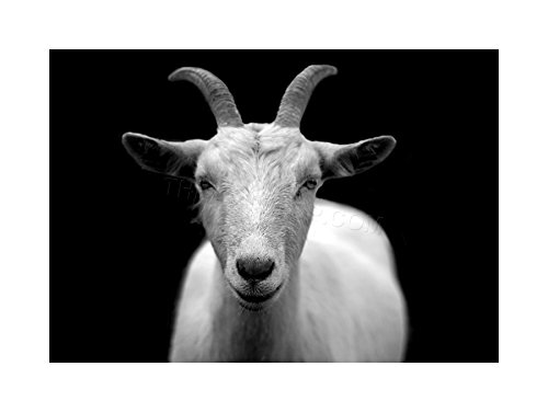 PHOTO ANIMAL GOAT HORN B&W CAPRICORN FRAMED PRINT F12X2702