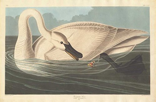 Fine Art Print | Robert Havell after John James Audubon | Trumpeter Swan 1838 | Vintage Wall Decor Poster Reproduction | 44in x 30in ()