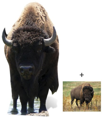 Bison - Wildlife/Animal Lifesize Cardboard Cutout / Standee / Standup - Includes 8x10 (20x25cm) Star Photo