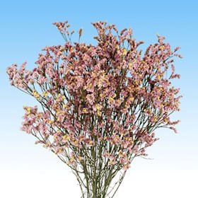 GlobalRose 240 Fresh Cut Pink Limonium Flowers - Fresh Flowers For Birthdays, Weddings or Anniversary.