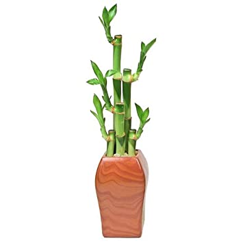Lucky Bamboo Plant Arrangment, 5 Stalks, Woodgrain Ceramic, Exclusive  Madonna Vase Design,