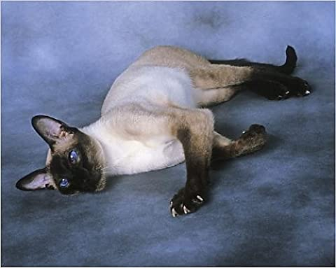 Photographic Print of Cat - Siamese Seal Point - Lying down - Seal Point Siamese Cats