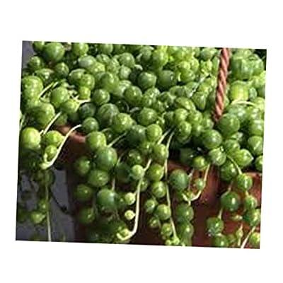 TEE 2 Bare Root Medium Succulent Plants Senecio Rowleyanus - RK49 : Garden & Outdoor