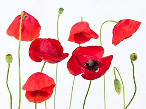 Poppy flowers on white background Poster Print by Assaf Frank