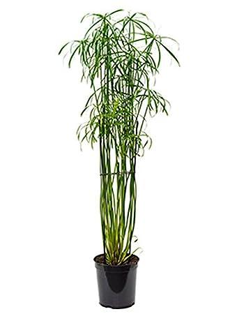Zimmerpflanzen Für Sonnige Standorte zyperngras glaber pflegeleichte zimmerpflanze für sonniger standort