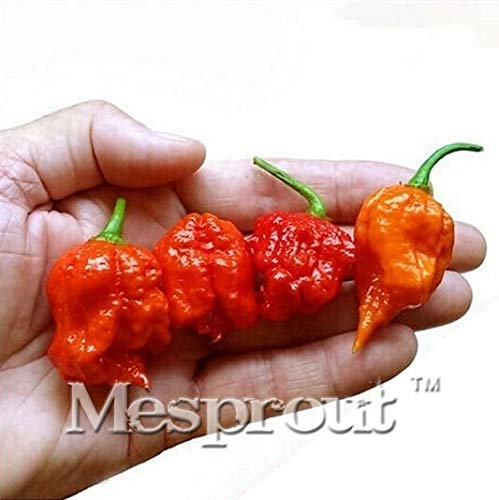 (AGROBITS Fresh Rare Red Carolina Reaper Pepper Bonsai (hot Chilli) Organic Vegetable Bonsai - 100 Bonsai)