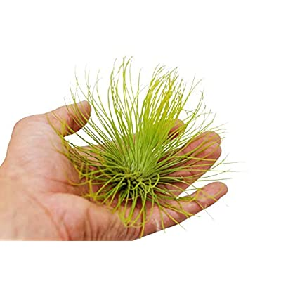 Cheap Fresh XL Tillandsia Andreana Air Plant or 4-5 Inches Big! or Unique Plant Get 1 Easy Grow #HPS01YN : Garden & Outdoor