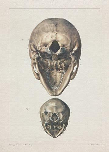 Anatomy SKULL OCCIPITAL BONES print SRA3 12x18 conqueror laid - Occipital Bone Skull