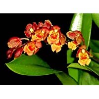 Easy to grow Howeara Lava Burst orchid blooming size