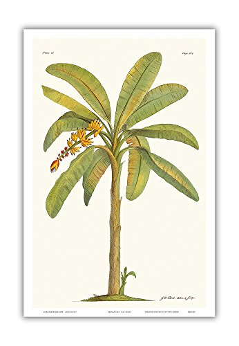 Banana Tree (Musa sapientum) - Plate From 18th Century The Natural History of Barbados - Vintage Botanical Illustration by Georg Dionysius Ehret c.1700s - Master Art Print - 12 x 18in