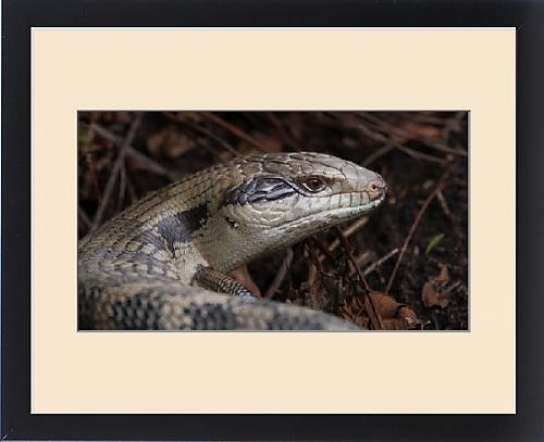 framed-print-of-handsome-blue-tongue-lizard
