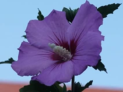 Amazon 50 purple rose of sharon hibiscus syriacus flower tree 50 purple rose of sharon hibiscus syriacus flower tree bush shrub seeds mix comb s mightylinksfo